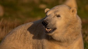 Polar Bear Wildlife Predator Animal 6404x3619 wallpaper