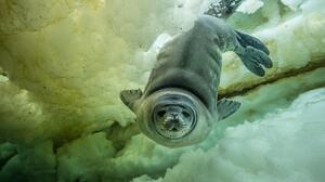Animal Frozen Ice Seal Water Wildlife 1900x1265 Wallpaper