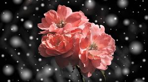 Earth Flower Pink Rose Rose Snow Snowfall Snowflake 2800x1874 Wallpaper