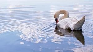 Bird Swan 3840x2160 Wallpaper