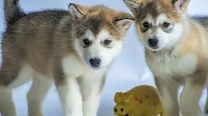 Husky Puppy Baby Animal 3840x2130 Wallpaper