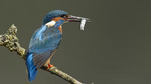 Animal Kingfisher 1920x1300 Wallpaper