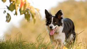 Border Collie Dog Pet 3603x2443 Wallpaper