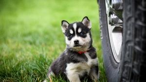 Dog Baby Animal Pet Puppy Siberian Husky 3840x2560 Wallpaper