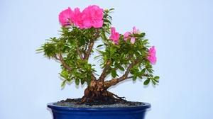 Bonsai Flower Pink Flower Pot Plant Tree 2253x1268 wallpaper