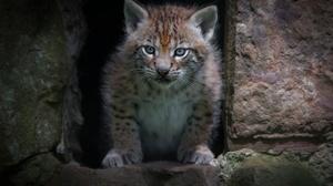 Baby Animal Big Cat Cub Lynx Wildlife 2048x1365 Wallpaper