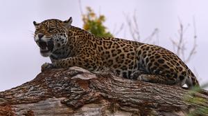 Wildlife Nature Feline Big Cats Mammals Jaguars 6048x4024 Wallpaper