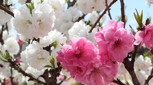 Blossom Branch Flower Macro Sakura Spring 5184x3456 Wallpaper