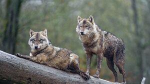 Wildlife Wolf 4219x2808 Wallpaper