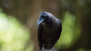Bird Crow Depth Of Field Wildlife 5418x3612 Wallpaper