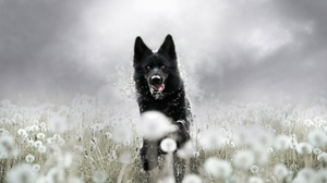 Dandelion Dog German Shepherd Pet 2560x1709 Wallpaper