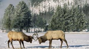 Animal Elk 1920x1080 Wallpaper