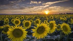 Field Flower Nature Summer Sunflower Sunrise Yellow Flower 1920x1282 Wallpaper