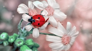 Insect Ladybug Macro White Flower 2048x1365 Wallpaper