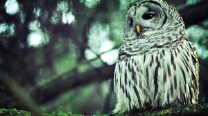 Animal Barred Owl 1920x1200 Wallpaper
