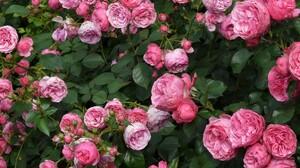 Flower Rose Leaf Pink Flower 2560x1600 Wallpaper