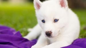Blue Eyes Dog Puppy Siberian Husky 2560x1921 Wallpaper