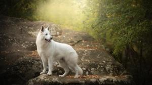 Dog Pet Rock White Shepherd 6000x4000 wallpaper