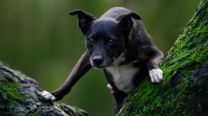 Staffordshire Bull Terrier Dog Pet Puppy Baby Animal 6144x4096 Wallpaper