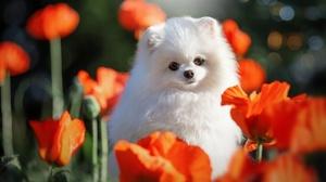 Dog Flower Pet Poppy Red Flower Spitz 1920x1280 Wallpaper