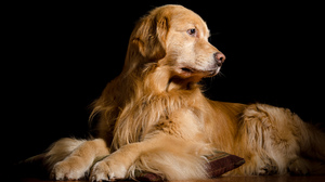 Dog Golden Retriever Pet 2048x1357 Wallpaper