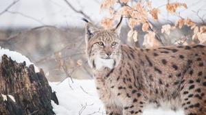 Big Cat Lynx Wildlife Predator Animal 5315x3189 Wallpaper