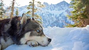 Dog Husky Pet Resting Snow Winter 2048x1427 Wallpaper