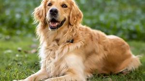 Dog Golden Retriever Pet 2048x1463 Wallpaper