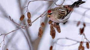 Animal Bird Common Redpoll Branch 1920x1200 Wallpaper