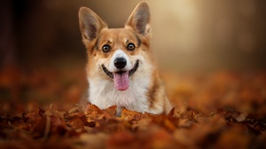Corgi Depth Of Field Dog Fall Leaf Pet 2048x1363 Wallpaper