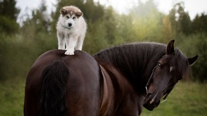 Baby Animal Dog Horse Pet Puppy Siberian Husky 1920x1280 wallpaper