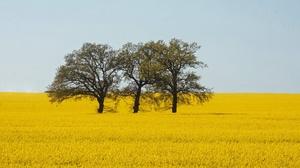 Field Rapeseed Summer Tree Yellow Flower 2560x1707 Wallpaper