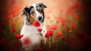 Australian Shepherd Dog Pet Poppy Red Flower 2048x1365 Wallpaper