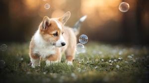 Baby Animal Bubble Corgi Depth Of Field Dog Puppy 2048x1365 Wallpaper