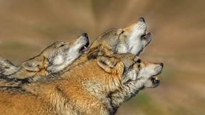 Wildlife Wolf Predator Animal 2047x1162 Wallpaper