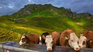 Cow Herd Mountain 2720x1723 Wallpaper