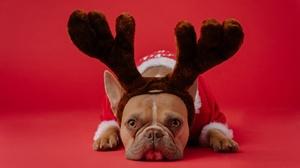 Dog French Bulldog Pet 2880x1924 Wallpaper
