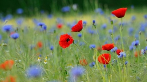 Cornflower Flower Meadow Nature Red Flower 1920x1080 wallpaper
