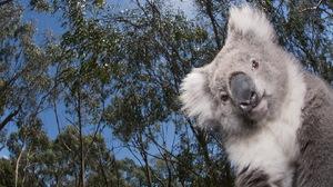 Animal Koala 1680x1050 Wallpaper