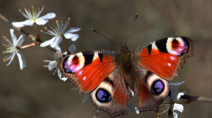 Animal Butterfly European Peacock 3792x2528 Wallpaper