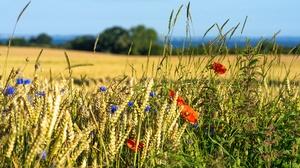 Cornflower Field Flower Poppy Summer Wheat 3840x2160 Wallpaper