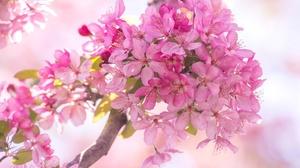 Blossom Flower Macro Nature Pink Flower Spring 1920x1200 Wallpaper