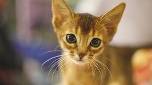 Abyssinian Cat Kitten 2560x1707 Wallpaper