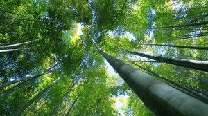 Bamboo Forest Nature 3000x2000 Wallpaper