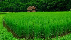 Nature Landscape Green Water Trees House Forest Grass Field Plants Rice Paddy 1920x1080 Wallpaper