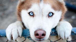 Blue Eyes Cute Dog Puppy 3840x2160 Wallpaper