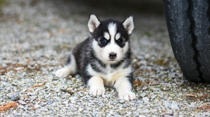 Baby Animal Dog Husky Pet Puppy Siberian Husky 3840x2160 Wallpaper