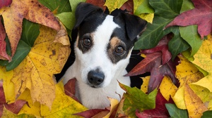 Dog Jack Russell Terrier Maple Leaf Puppy 5242x4000 Wallpaper