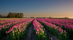 Field Flower Nature Pink Flower Summer Tulip 2048x1162 Wallpaper