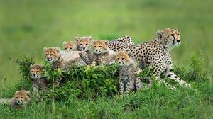Baby Animal Big Cat Cub Wildlife Predator Animal 2000x1333 Wallpaper
